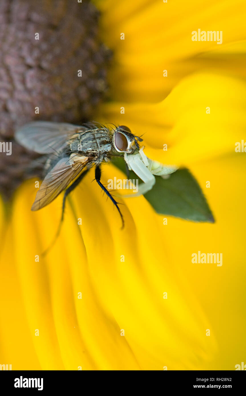 Image en gros plan d'une araignée crabe blanc embuscade à un jardin voler sur les pétales d'un jaune d'échinacée d'été Banque D'Images