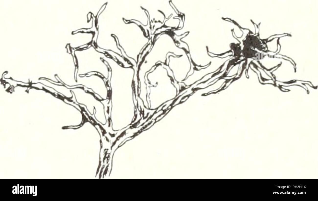 . La bryologue. Bryologie Bryologie; -- Périodiques. Fig. 4. Evernia furfiiracea x 2 et X4. Fig. 5. Evernia vuipina x i. Evernia vuipina (L.) Ach. (Fig. 5.) Thalle aplati et froissé, citron lumineux-couleur. Les branches sont longues avec conseils atténué. Les apothécies grand, brun-rougeâtre, entouré de branches comme la colonne vertébrale. Cette substitution, pousse sur la côte du Pacifique au sud jusqu'au bas de la Californie, et de retour dans les montagnes. Par sa couleur il attire l'avis de touristes, et est recueillie lors de la plus rare et moins visible les lichens sont transmis par. Ra.malina, comme Evernia, a un t Photo Stock