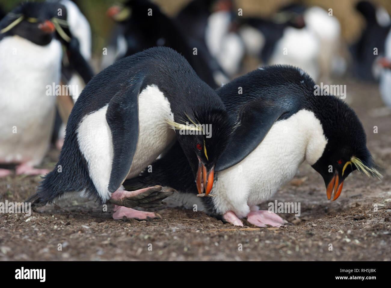 Gorfous sauteurs Eudyptes chrysocome debout à nid tête baissée l'accouplement posent plus sombres des îles Falkland Island Photo Stock
