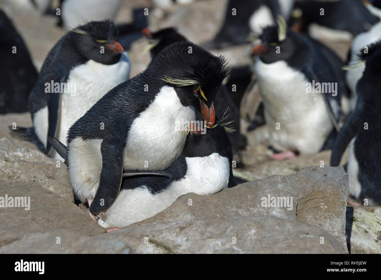 Gorfous sauteurs Eudyptes chrysocome l'accouplement au nid dans les roches de l'île sealion Iles Falkland Photo Stock