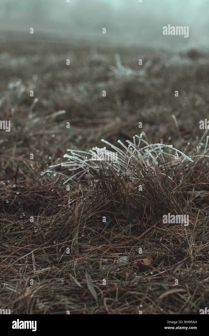 Les brins d'herbe givrée en saison d'hiver du Banque D'Images
