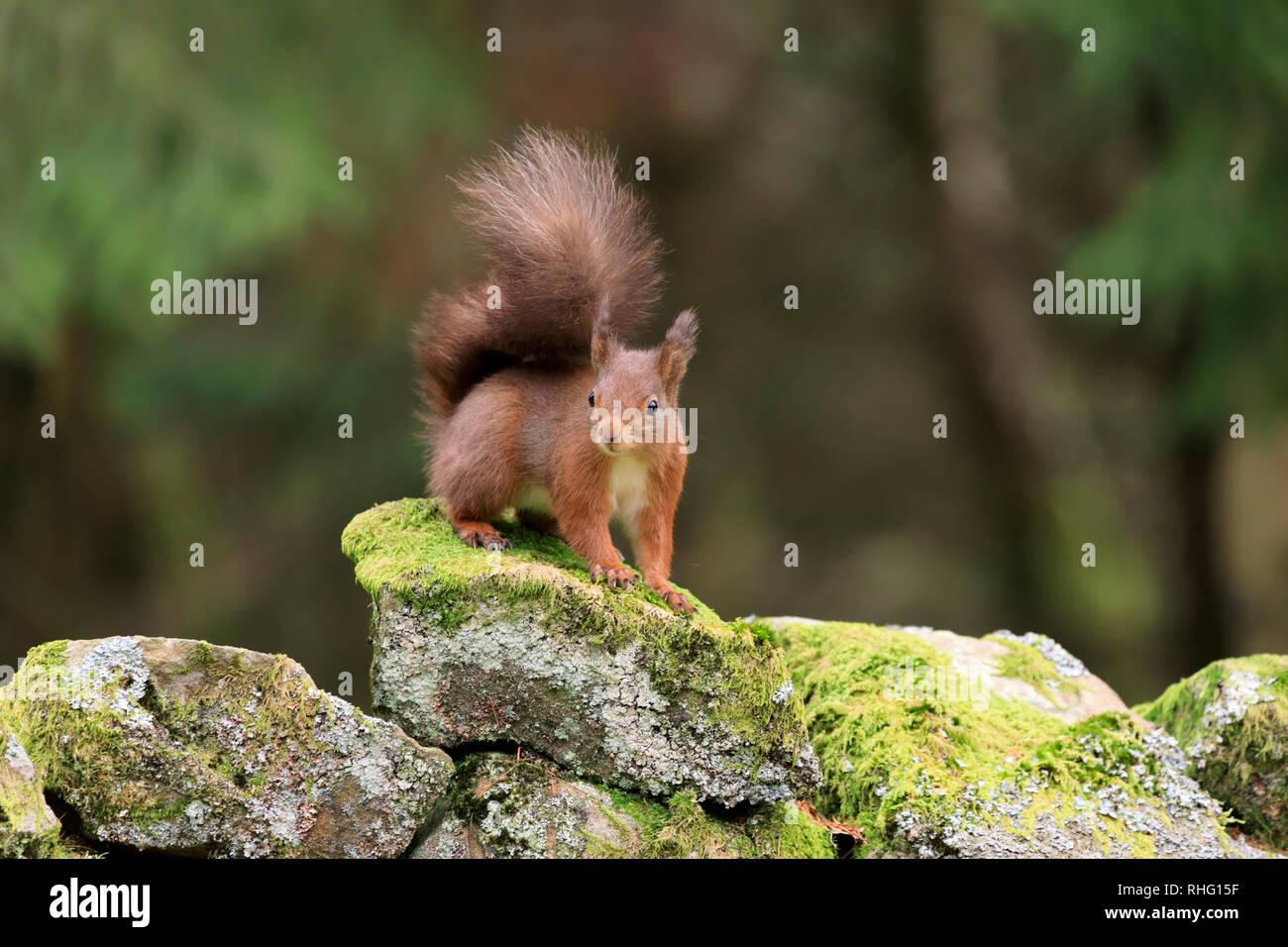 L'écureuil roux, Sciurus vulgaris, alerte à la Banque D'Images
