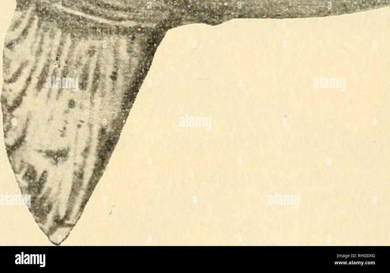 . Boletín de la Sociedad Española de Historia Natural. L'histoire naturelle. 45 í BOLETÍN DE LA REAL SOC.EDAD ESPAÑOLA pescado á la? Siete de la tarde del 18 de Julio último, en la Ría de Pontevedra, frente a la playa de Área da Barca (paroisse de Sa- mieira), á environ 8 km de la capitale, en la margen derecha de di- cha ría, siendo al transportado muelle de Gombarro, distante de 6 km, unos de Pontevedra. -. OrtJiagoriscus oblongtis ann. Sin pérdida de tiempo y acompañado de los dos referidos seño- res, de mi colega - D. Secundino Vilanova y del fotógrafo D. Lorenzo Novas, me dirigí indicad al Banque D'Images