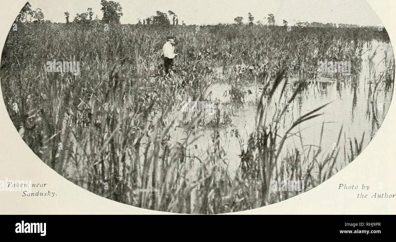. Les oiseaux de l'Ohio; un scientifique complète et populaire Description des 320 espèces d'oiseaux trouvés dans l'état. Les oiseaux -- l'Ohio. Jusqu'- I'.uu'k TKUX. 5^9 à l'heure actuelle. Pendant les migrations, les oiseaux peuvent faire une pause sur la rivière Ohio, et sont presque sûr de regarder dans les réservoirs plus grands pour quelques jours, mais sont connus ailleurs qu'en passant et que les oiseaux de passage. Les sternes arrivent sur leurs sites de reproduction au cours de la première semaine de mai ou même plus tôt, mais ils ne sont pas habituellement à la hâte de commencer leur nidification, puisqu'il y a danger non seulement de l'eau élevée et de tempêtes destructrices, mais de sna à froid Photo Stock
