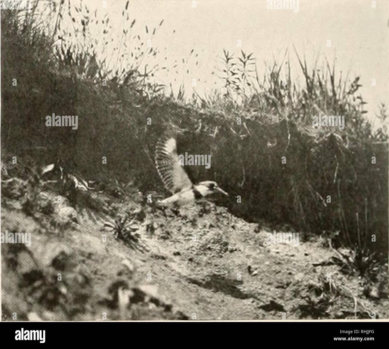 . Oiseaux d'Amérique;. Les oiseaux -- Amérique du Nord. KINGFISHER YOONG sortant de son nid le terrier avec la nature et le but de l'activité de Kingfisher. Un trop grand nombre de ses imitateurs de peur, ou même croire, qu'il est destructeur pour les poissons de sport, notamment l'omble de fontaine. Mais il semble que cette accusation ne peut être fondée, et que les captures d'oiseaux principalement des ménés, hacher, et les poissons d'eau peu profonde qui sont nuisibles pour le pêcheur. Et il est connu qu'une très con- siderable partie de son régime alimentaire est composé de craw- poissons, grenouilles, et même nuisible de coléoptères et de sauterelles, qu'il prend lorsque la pêc Photo Stock