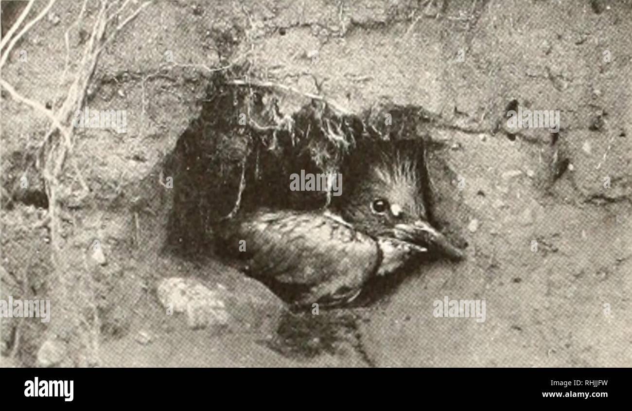 . Oiseaux d'Amérique;. Les oiseaux -- Amérique du Nord. 134 OISEAUX D'AMÉRIQUE C'est l'une des personnalités pittoresques et prononcée du monde à plumes - une main- certains, robuste et autonome bird qui gagne sa vie de la bv, persistantes, habile et en grande partie pratique inoffensive d'un ancien et respecté l'art. Il me semble utile de souligner à la fois. KINGFISHER YOONG sortant de son nid le terrier avec la nature et le but de l'activité de Kingfisher. Un trop grand nombre de ses imitateurs de peur, ou même croire, qu'il est destructeur pour les poissons de sport, notamment l'omble de fontaine. Mais il semble que cette charge Photo Stock
