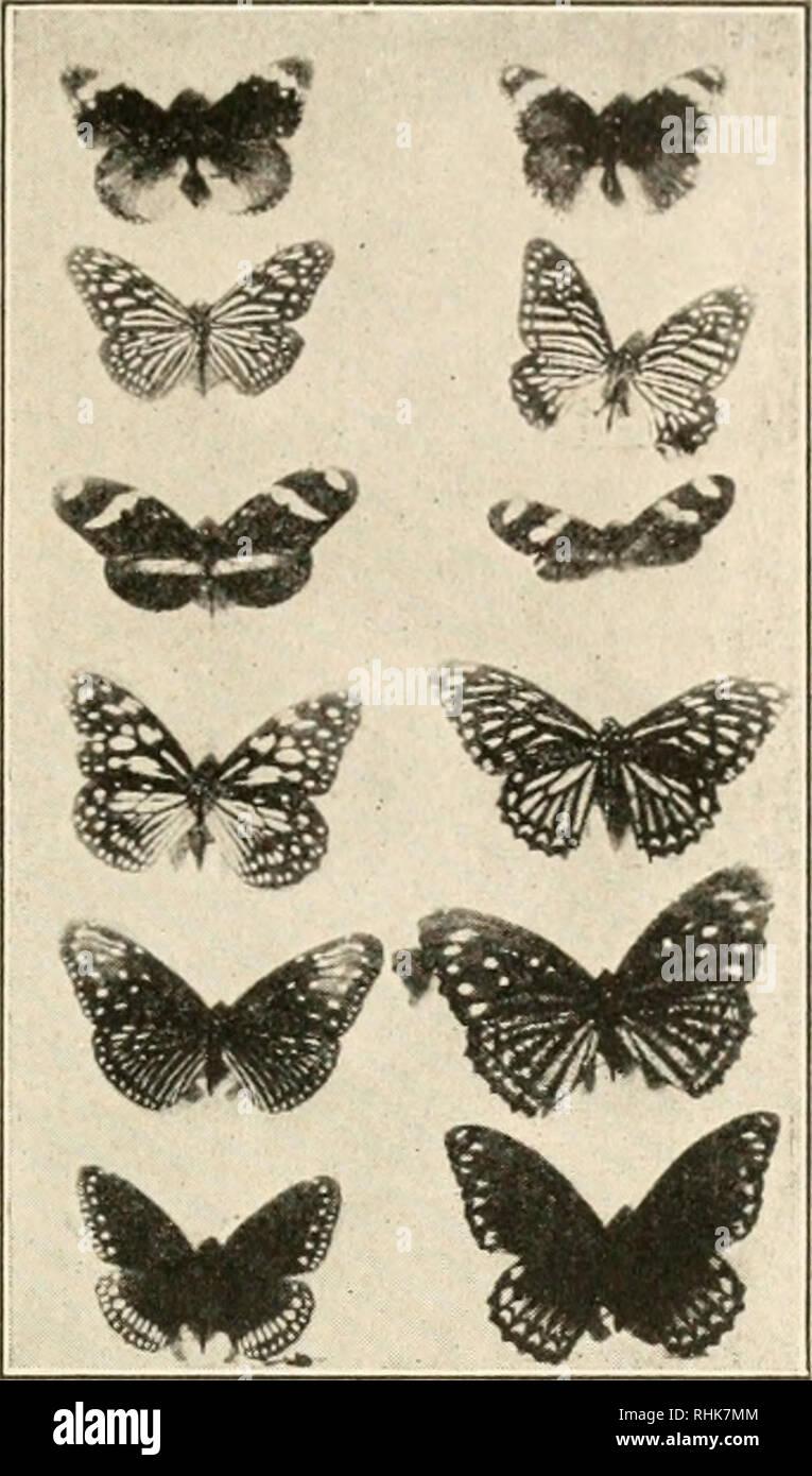 """. La biologie dans le Nord. La biologie. Le mimétisme de papillons sur la gauche une série de formes de mauvais goût ou puant, les """"modèles""""; avec une série d'imitateurs ou """"mimiL-s"""" à l'rJght. Préparation d'un Kny-Scheerer par entreprise.. Veuillez noter que ces images sont extraites de la page numérisée des images qui peuvent avoir été retouchées numériquement pour plus de lisibilité - coloration et l'aspect de ces illustrations ne peut pas parfaitement ressembler à l'œuvre originale.. Les jeunes, R. T. (Robert Thompson), b. 1874. Boston, R. G. Badger Photo Stock"""