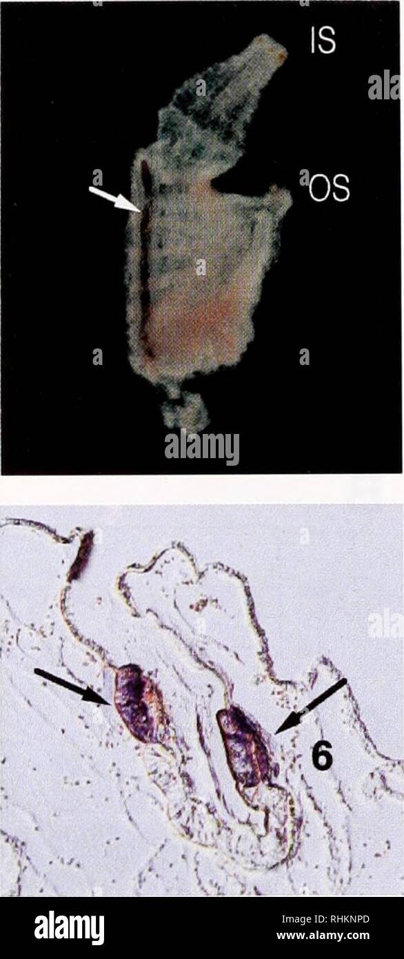 . Le bulletin biologique. Biologie; zoologie; biologie; biologie marine. Les gènes spécifiques à l'ENDOSTYLE ASCIDIE 63 MKVLLILLAFIAAASAFSYGNGYGYGYNKCY SYKGYSSGCYSYGYRK CYVYPKSQVFCYNIPYKKSWCSYKYYEPVLHVYPGCDCGTEGWTEKTV B6ADLEIEMTNLLKEALLKITTEMNNCKTTFVEQLKSSIEQYKLNVKNKL FNYYAYYIQSAKTDEERENLIKKRDDAIKEYNEELDKKRDDVILKCEE DVADKLKCIADYHTKLVENGVECLKTRLTKIVDYTTTLTAKCVOYVKN YVACHMSILEQKKSYYRSFLHKVHGSSEWEKVTVOAVIQLYHOQEVAK ITALATEYATKLATWKLKLIMNYSCAYRCYMSNGCIRFYKKRYYSTCK RYGCWYKYKTRYCFVRYCLQPFKFCFNPTKYTGLKTCVFPAVVRDGAT IIKEHCEKLEKAILEYETQFGEWKLKWTTYHTEYCTKYDEIIKARHDW YIEYLRSQYICANNSTELTDEQKAKLAEVQKECDEKRTAAVEAYKLKL UN Banque D'Images
