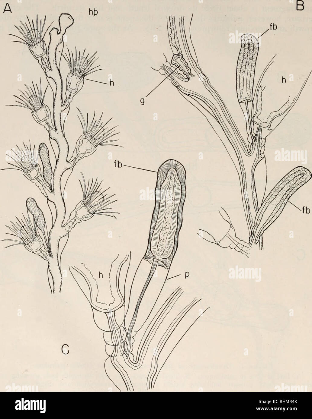. Le bulletin biologique. Biologie; zoologie; biologie; biologie marine. 98 N. J. BERRILL. fb C FIGURE 3. Production d'gonangial Obclia garicitlata dans les bourgeons. A. brin complète avec deux gonangial avancée bourgeons. B. Cadre de montrer aux jeunes souches gonangium et deux étapes de production d'gonangial les bourgeons. C. Bud montrant forte démarcation entre présomption massive de bud et atténuées. tige proximale //;, De présomption de bouton; g, gonangium; //, hydranthe: /&gt;, perisarc.. Veuillez noter que ces images sont extraites de la page numérisée des images qui peuvent avoir été retouchées numériquement pour plus de lisibilité - couleur Photo Stock