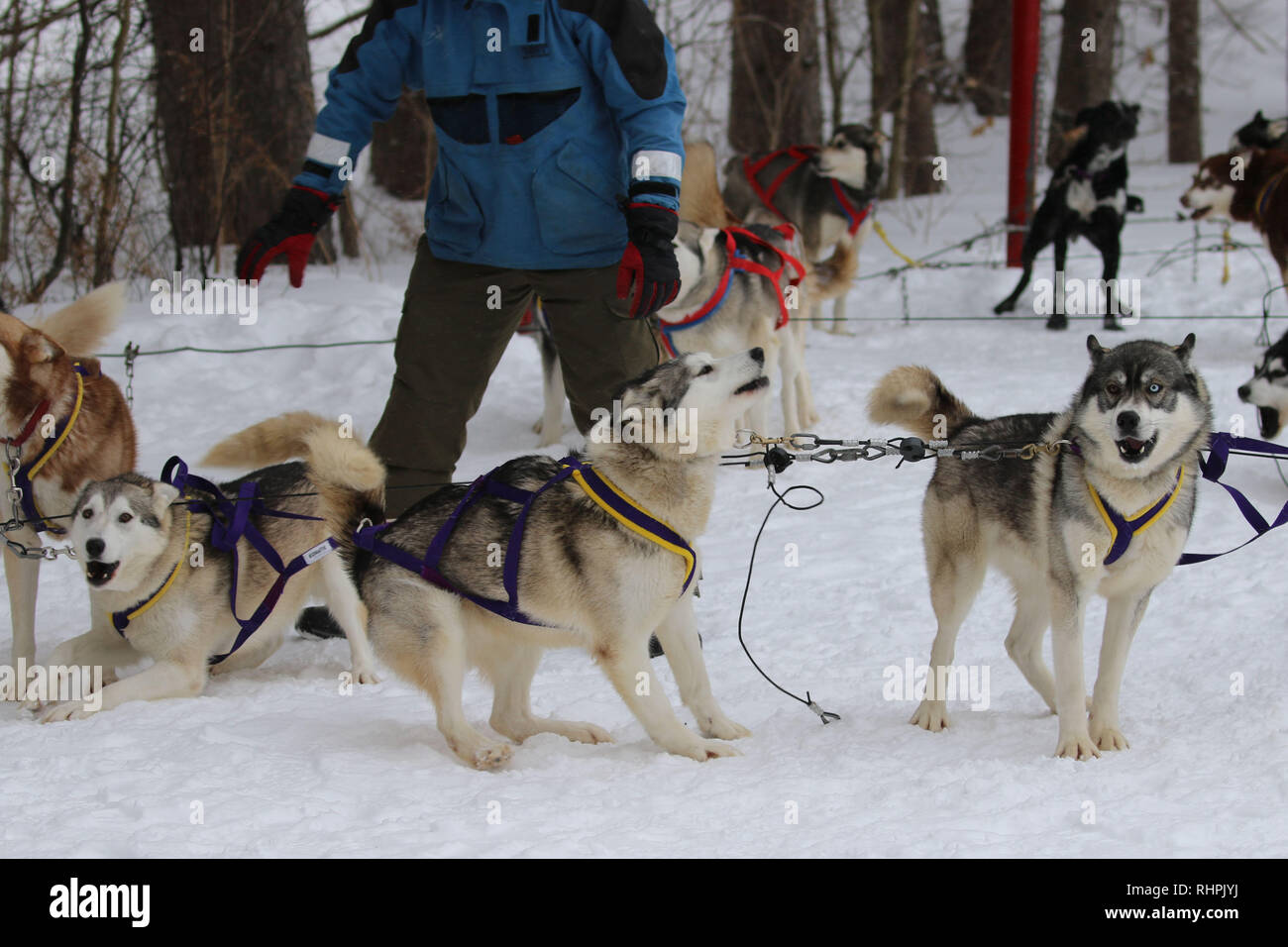 Louves Couleur Husky Photos Louves Couleur Husky Images