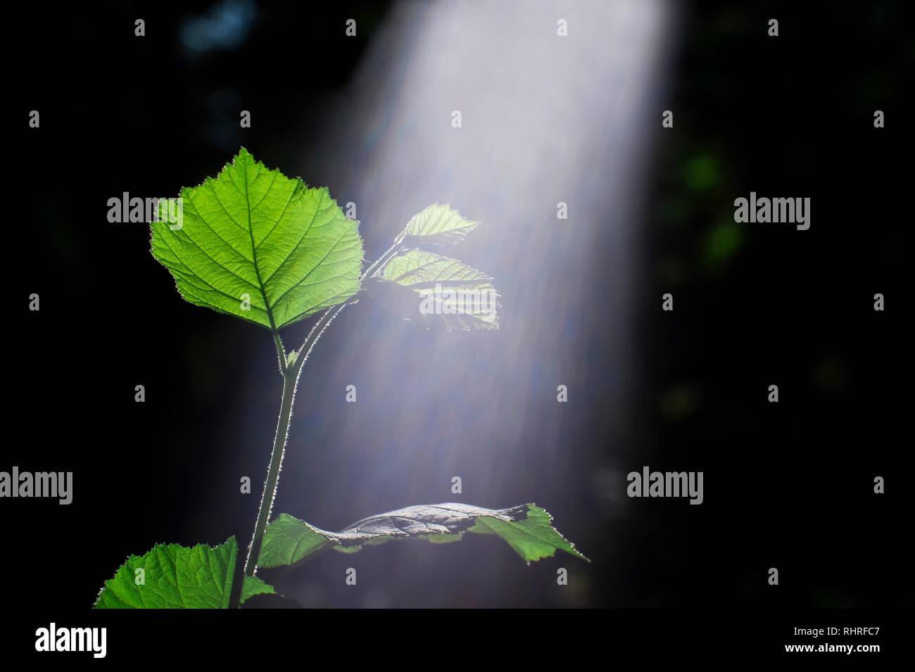 Green sprout d'une jeune branche d'un buisson de noisetiers illuminée par le soleil avec un spectre visible de la lumière. Le concept de photosynthèse des plantes. Le re Photo Stock