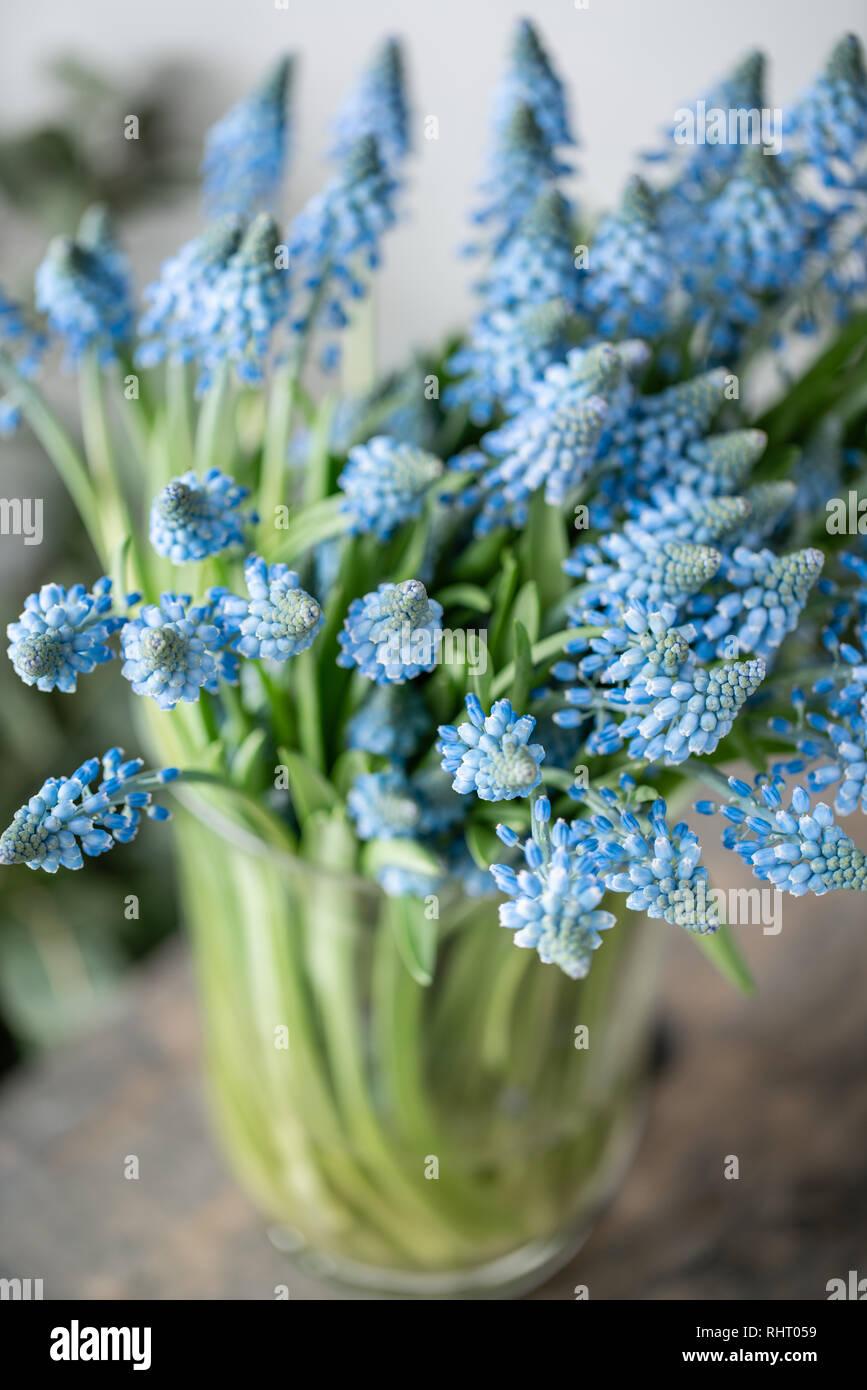 Bouquet de fleurs muscari bleu vase en verre sur la table en bois. Les fleurs à bulbe de printemps. Flower shop concept Banque D'Images