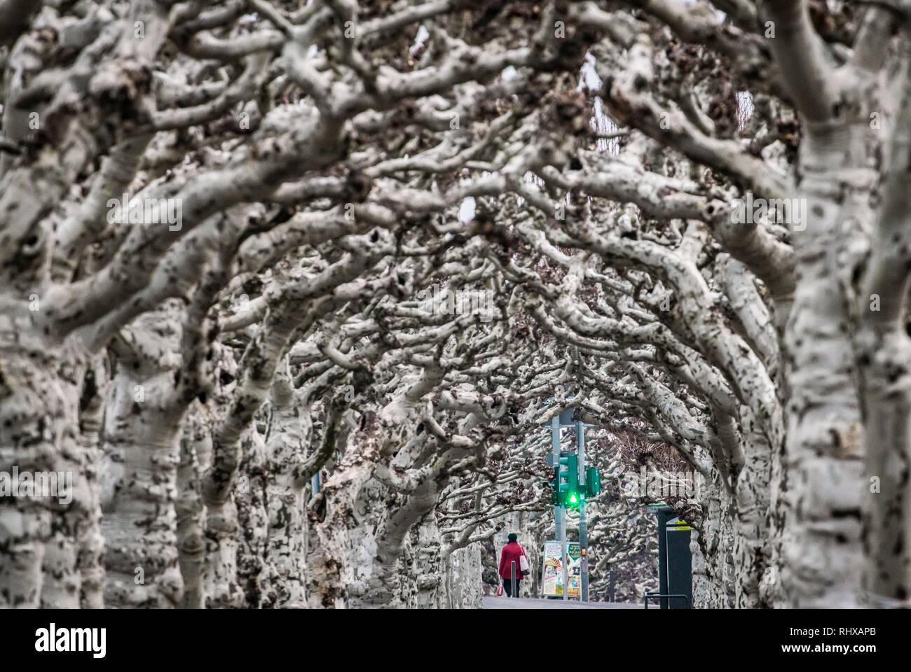 Hessen, Frankfurt/Main, Allemagne. 05 février 2019, derrière les nombreuses branches dénudées des platanes au-dessus d'un sentier sur la rive sud de la main, un feu de circulation pour piétons peut être vu ci-dessous qui, contrairement à la nature, s'allume en vert. Dpa: Crédit photo alliance/Alamy Live News Photo Stock
