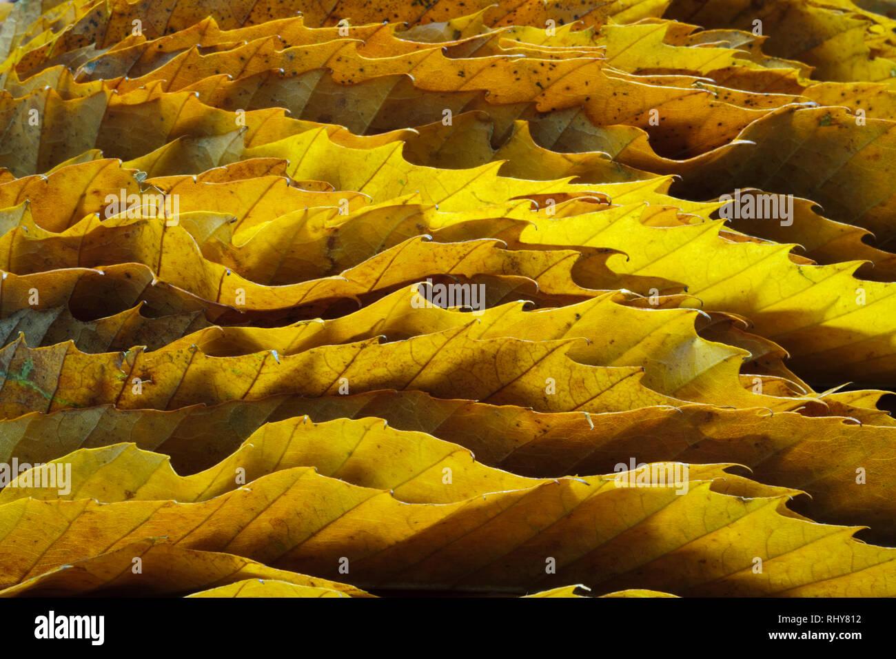 Bords dentelés de feuilles de châtaignier montrant les crochets et les veines. Les feuilles d'automne empilés sur le bord et de rétroéclairage. Photo Stock