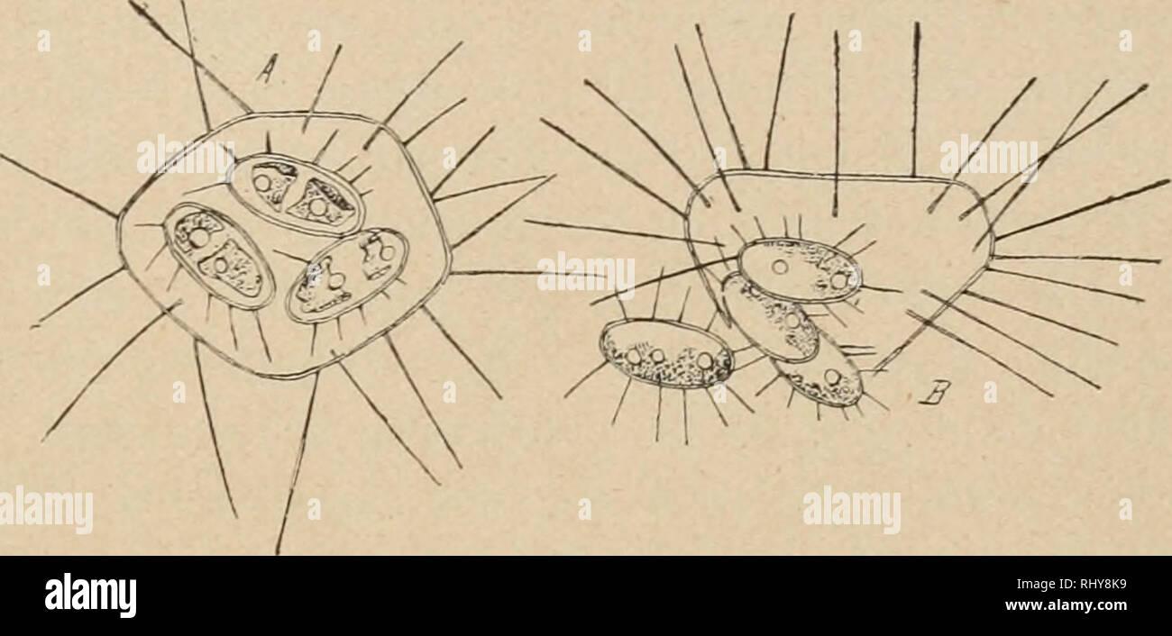 . Zur Kryptogamenflora Beitrge der Schweiz. 171 le plus souvent dejä acquierent dans la cellule simple les piquants- teristiques ccrac pour la cellule adulte. Dans le Lagerheimia Genevensis on peut rencontrer tous les stades divers (zoospores?, autospores armees, gelifiees autospores et spores). On peut considérer la production des spores comme une auto- ger- mination hätive. La sup- pression habituelle des zoospores est dejä une indice d'un raccourcis- sement dans l'évolution ontogenique. TT- , 11 • Fig. 93. Chodatella echidna. - Autospores. (Bohlin.) vivant dans des mi- lieux riches en champ Photo Stock