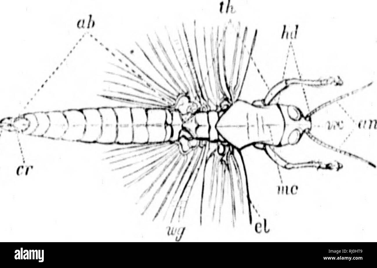 ". Synopsis de l'Acrididae d'Amérique du Nord [microforme]. Orthoptères; Acridiidae; insectes; Acrididà Orthoptè©s; res; Insectes. Explication DES GRAVURES SUR BOIS. Acrulium itmiricaniiiii Driiiy, (Ki;;s. 19 anil -', & lt;}.. ].'Ij.'. 1/(,/, ln>iul; III, tlidiiix; ((/*, atiiloirifii; int'antt, iiiiji'.; r.v, v('iti'&gt; moi iiifdiau ciirinii de llio, proiiotmii; (7, élytres; Â""'r/, winy; (T, t't'iri; ou, oviiiositor. H â¢â ¢'Â"" je *r*Â""-. sup. Kin-.â(â /, clyiH'iis; //(, lahniiii; pi, ]>ali)i; Pr, i)roii(ituiii; cr, coxa; yW;, Ci'Imui': lb, tibia; tr, taisus iJiilvillus; pi,; n<qi, siil);mal Banque D'Images"