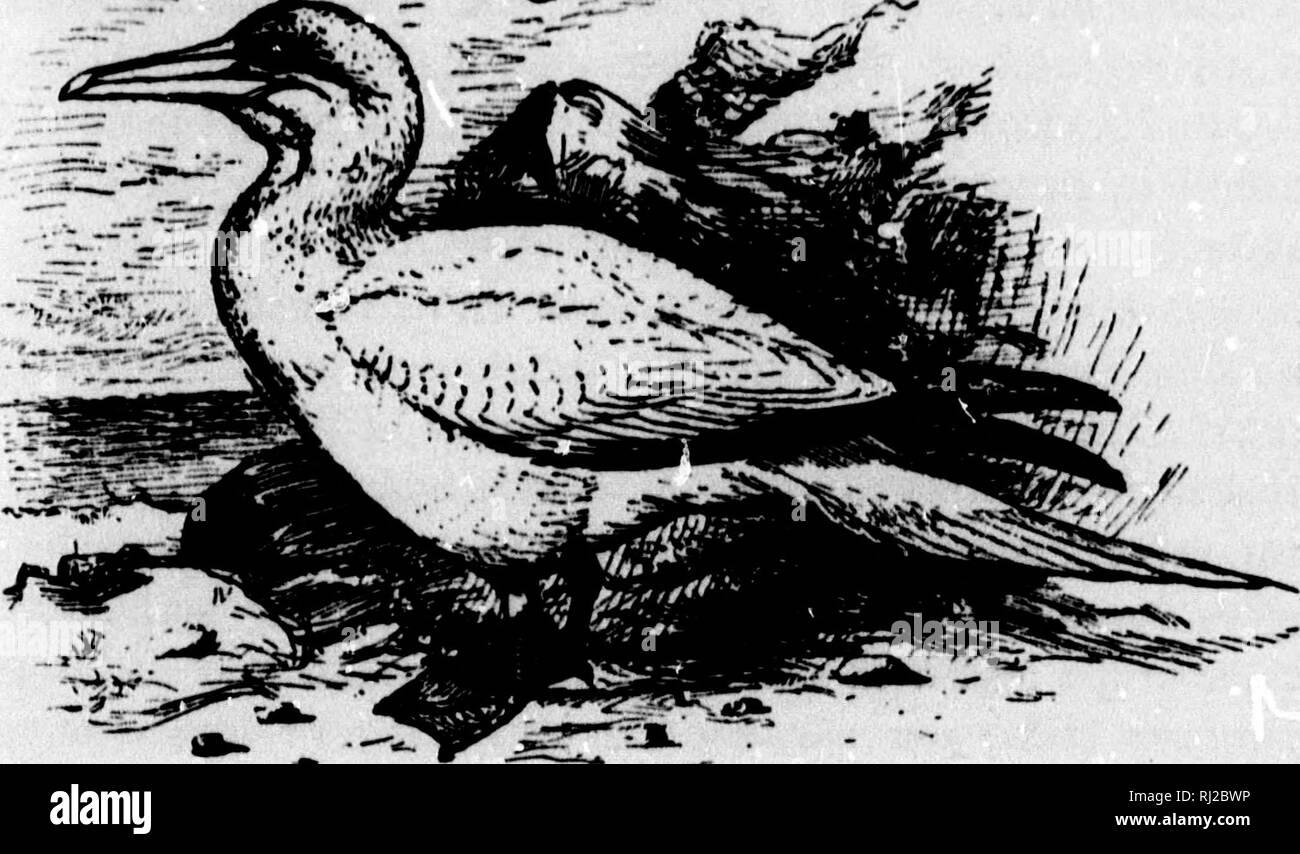 . Un manuel populaire de l'ornithologie de l'Est de l'Amérique du Nord [microforme]. Ornithologie ornithologie; jeu; jeu; les oiseaux et de jeu et jeu-oiseaux, oiseaux d'eau; l'eau-oiseaux; Ornithologie; Ornithologie; Gibier, gibier, oiseaux aquatiques, oiseaux aquatiques. ts avec l'if d'être de la mer, =>s une lerally Jnded, poisson avec. Dans son id marine sont dit ;s'ils pondent esh la couleur, comme le 'avec les parents, j'ai donné l'alerte, eir pouch orida, et; mais hors- •aggler. ^r. Fou de Bassan. SOLAN GOOSE. SULA BASSANA. Omble chevalier. La couleur dominante de la tête et du cou; blanc lavé avec chamois, les plumes de l'aile extérieure (primaires) noir. Longueur Banque D'Images