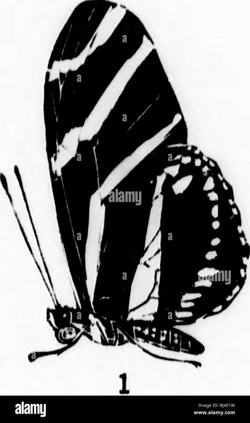. Un manuel de papillons d'Amérique du Nord [microforme]. Les papillons; Papillons. P L A 'I' L III. Veuillez noter que ces images sont extraites de la page numérisée des images qui peuvent avoir été retouchées numériquement pour plus de lisibilité - coloration et l'aspect de ces illustrations ne peut pas parfaitement ressembler à l'œuvre originale.. Maynard, C. J. (Charles Johnson), 1845-1929. Boston: De Wolfe, Fiske Photo Stock
