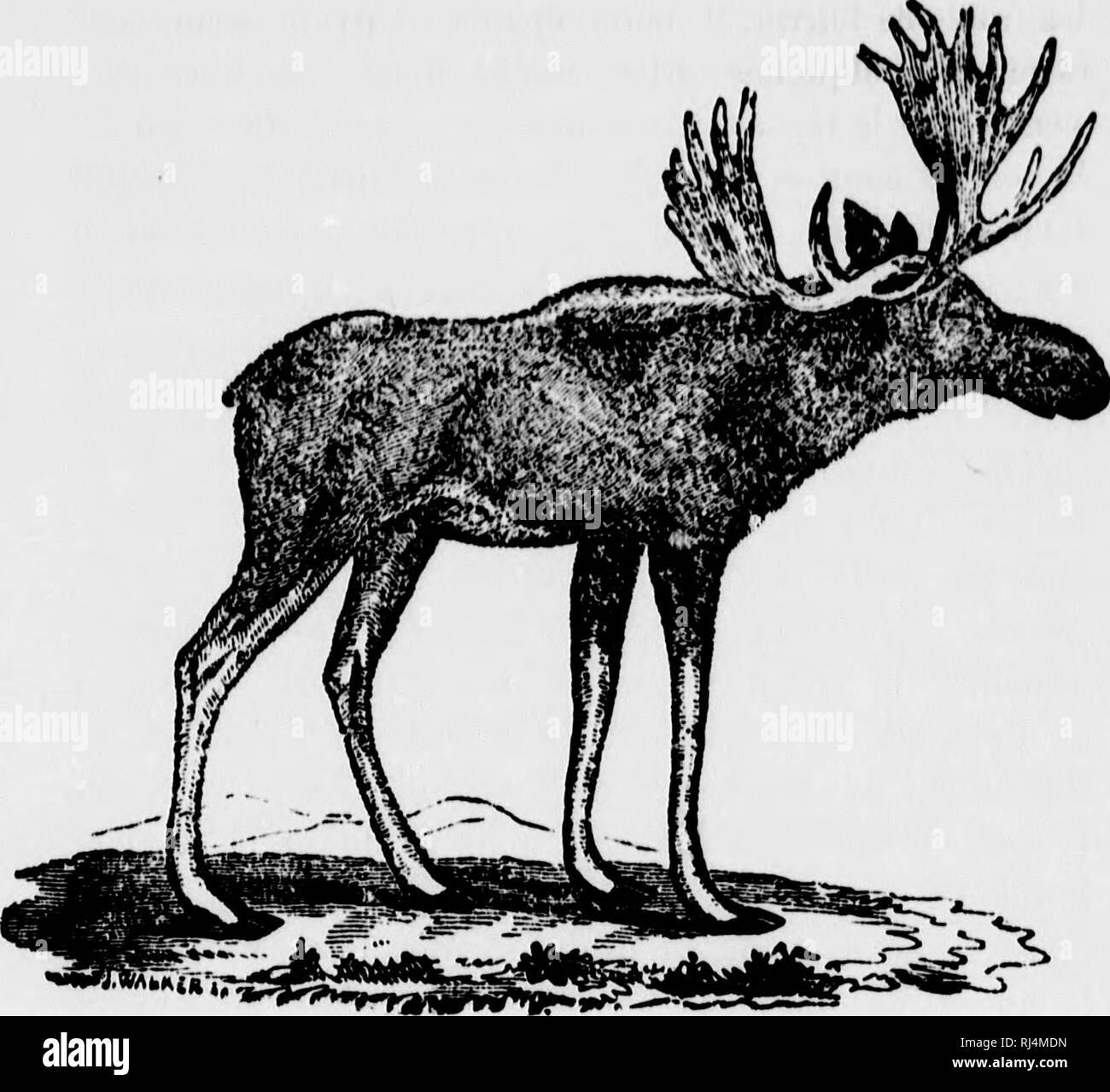 . Chasse et pêche au Canada [microforme]. Chasse, chasse, Pêche Pêche sportive; sportive; chasse; la chasse, la pêche, la pêche. L'ORIGNAL (AI.C'KS. amkimcana) L'Oiigiiuil uffoii iiumnio que lîalso l'Elan, ]mi .sa taille est le roi de l'espèce. Uu. vuniiiiant Imaginez colo-sul, peu dlégant de formes, niuui d'une tête lourde et massive, ornée d'un buis pesant 70 livres, à'OO portant auiple¨- nià ie, aussi haut qu'un grand clievul, atteignant jusqu'à huit pieds en stature et qniuze cents livres en pesanteur, et vous avez un orignal adulte, un vieux mâle. Poignée de commande. Veuillez noter que ces Photo Stock