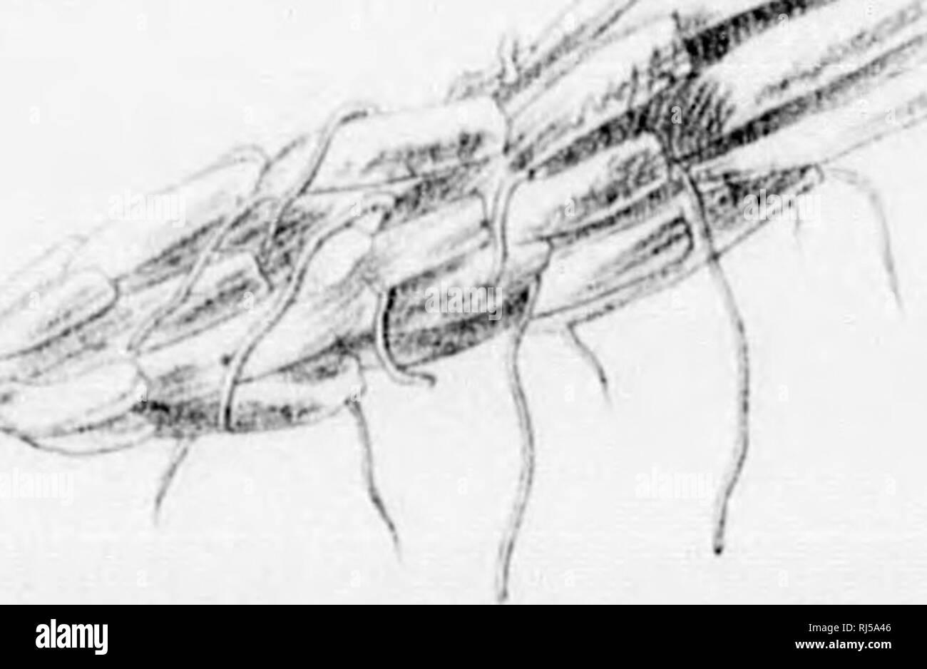. Les fougères de l'Amérique du Nord [microforme]: les chiffres de couleur et les descriptions, avec la synonymie et de la répartition géographique, des fougères (y compris le ophioglassaceae) des États-Unis d'Amérique et de l'Amérique Britannique du nord des possessions. Fougères; Fougères. £^severnãƒ^^.^^^^ &gt; 't) â . jS^^- un fichier .w'. tlKlIlM- I. Veuillez noter que ces images sont extraites de la page numérisée des images qui peuvent avoir été retouchées numériquement pour plus de lisibilité - coloration et l'aspect de ces illustrations ne peut pas parfaitement ressembler à l'œuvre originale.. Eaton, Daniel Cady, 1834-1895. Salem [Mass. ]: S. E. Cassi Banque D'Images