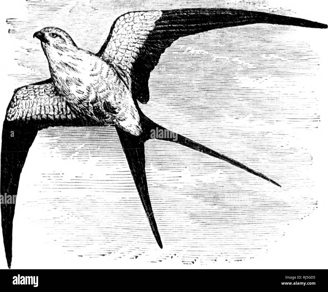 """. Les oiseaux de l'Est de l'Amérique du Nord connu pour se produire à l'est de la quatre-vingt-dixième méridien [microform]. Les oiseaux sauvages, oiseaux, Oiseaux, oiseaux de la famille f. FALCONIDvi;. - IIAWKS KAOLES, faucons, etc. 177 Cloiieral} j""""lumii;o, sootj' entièrement marron ou noir; primaires et la queue, avec plus ou il'f s^^ou blanc ray. American Buse pattue (plumage noir). Archihuti liojajnts tmncti'i)-JDhainiis. Voir n° 281. L'article 2. Troisième plus long, primaire, tarse, non entièrement en drapeau. VVliiif, moins de l',""""; un i)de l'art de l'espace extra-web intérieur primaires, showinjj innnerons imperfeet wliite, bars; thij, blael^hs; darlc marron foncé; Banque D'Images"""