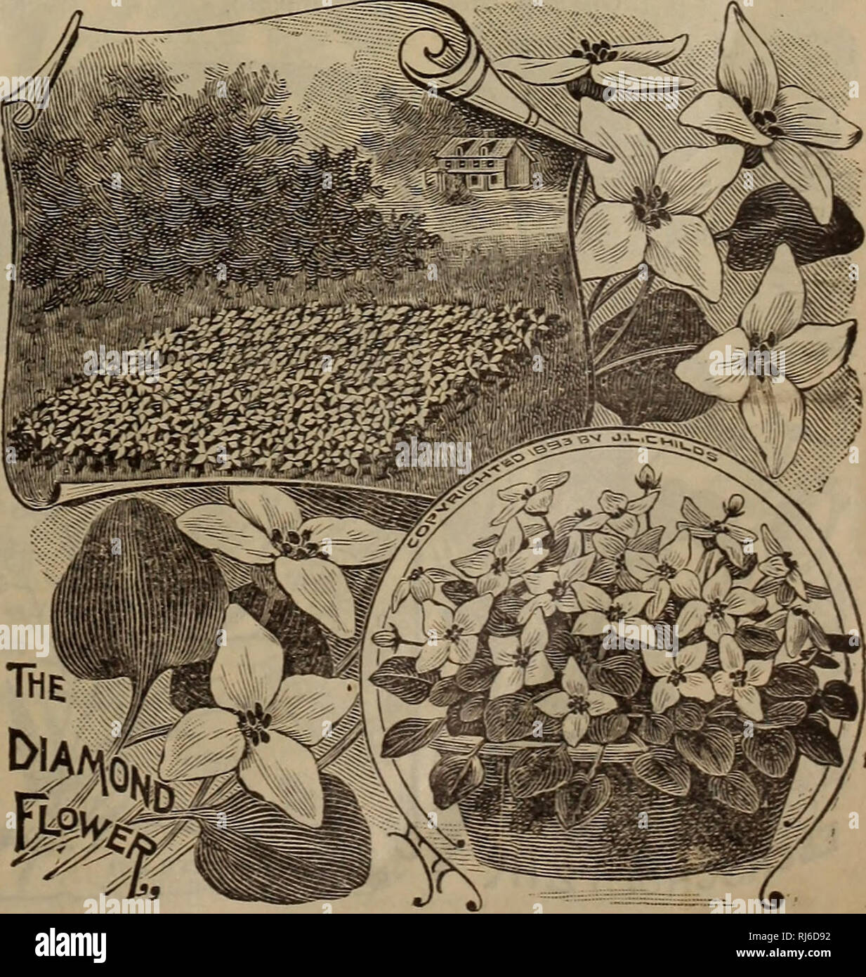 100 grandes Datura graines Thorn Apple Devil trompette Stramonium Fleur Datura Weed