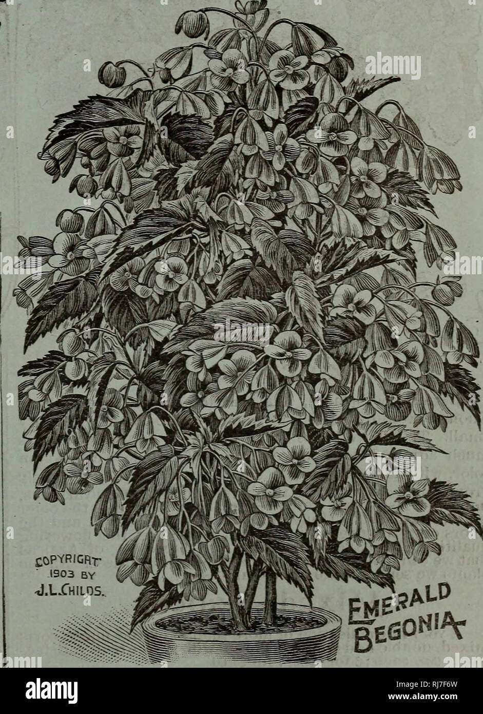 Tropical Fleurs Plante exotique rares Semences Semences ressort-VENTS FLEUR