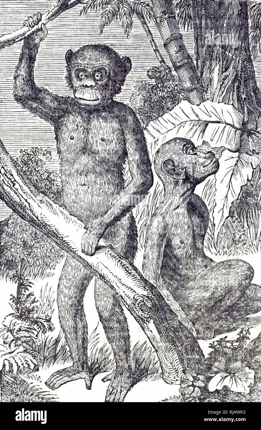 Une gravure représentant un chimpanzé. Avec les humains, les gorilles, les orangs-outans, et ils font partie de la famille des Hominidés. En date du 19e siècle Photo Stock