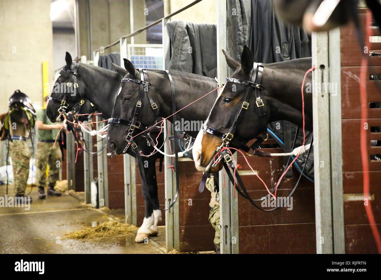La Caserne Wellington. London, UK, 6 févr. 2019 - Les membres de la troupe du Roi Royal Horse Artillery préparer leurs chevaux dans leurs étables temporaires dans la caserne Wellington. Plus tard aujourd'hui, ils montent leurs chevaux et chariots d'armes à feu jusqu'à pied, Birdcage passé le Palais de Buckingham et le feu d'une salve de 41 pour marquer le 67e anniversaire de la reine Elizabeth II, accession au trône, dans Green Park. Credit: Dinendra Haria/Alamy Live News Photo Stock