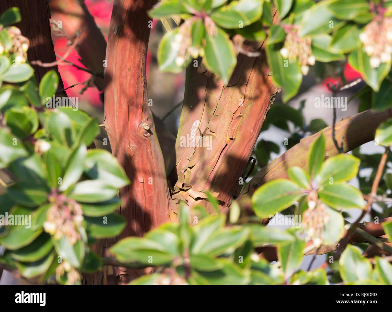 Gros plan de l'écorce du tronc et l'épluchage d'un Arbre aux fraises (Arbutus unedo), un défaut de croissance des arbres en hiver au Royaume-Uni. Photo Stock