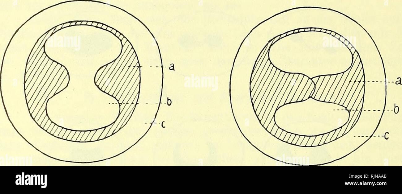 . Lehrbuch der Vergleichenden Mikroskopischen Anatomie der Wirbeltiere [ressource électronique]. Les vertébrés; Regard; vertébrés; yeux. 236 Iris. entsprechende ventrale, kleinere Gebilde fingerartig eingreifen kann. Giraffe bei ick vermißte Traubenkörner (1911) die während Sie ventrale, dor- sal stark ausgebildet sind Sie fehlen; bei Schweinen, Elefant, le tapir und Rhinozeros.. Fig. 251. Iris Pupille und von Anableps tetrophthalmus. Zwei Entwicklungsstadien. Nach Scheider-v. Orelli. /. Veuillez noter que ces images sont extraites de la page numérisée des images qui peuvent avoir été retouchées numériquement pour readabi Banque D'Images