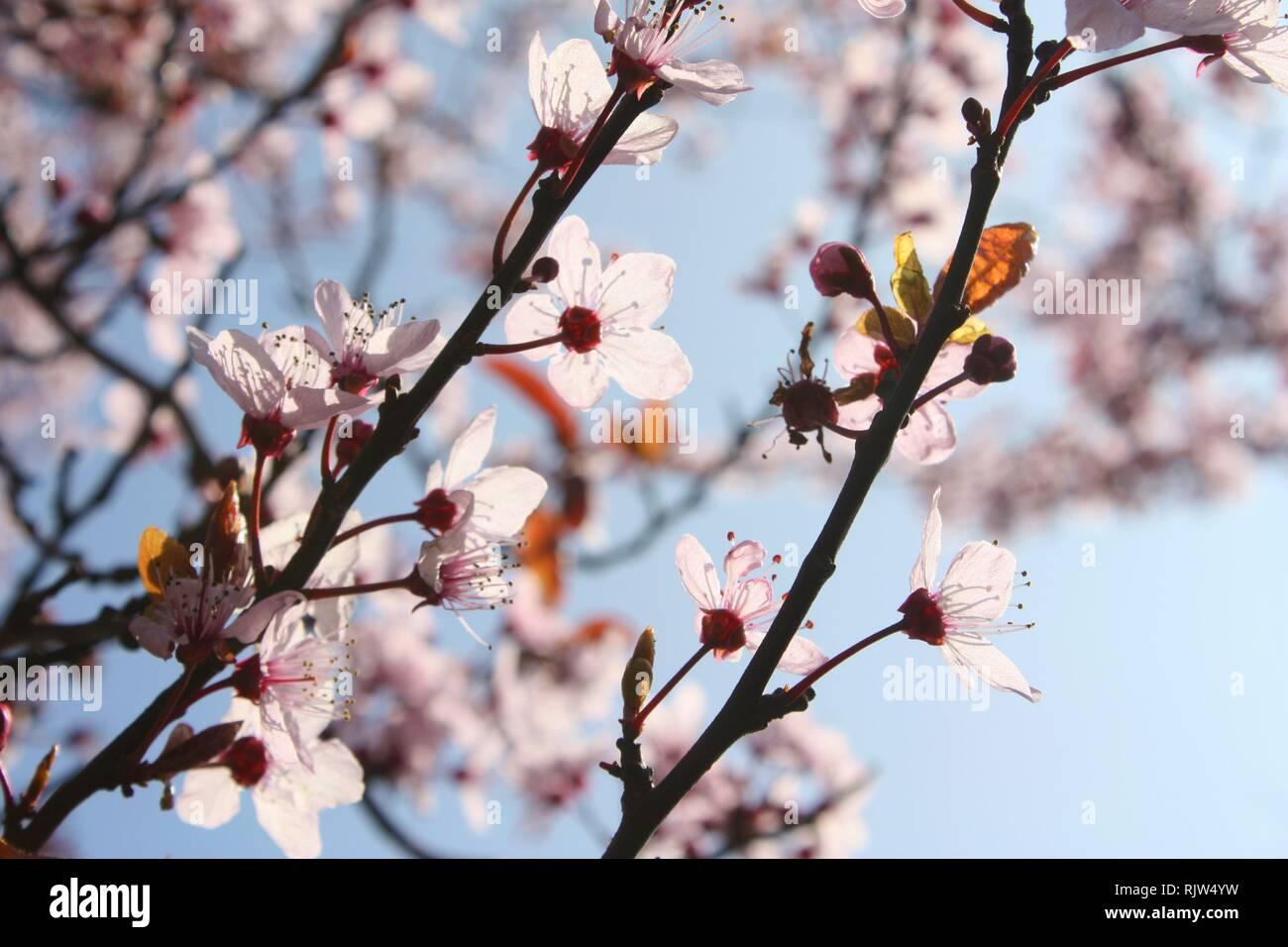 Les fleurs de cerisier rose Banque D'Images