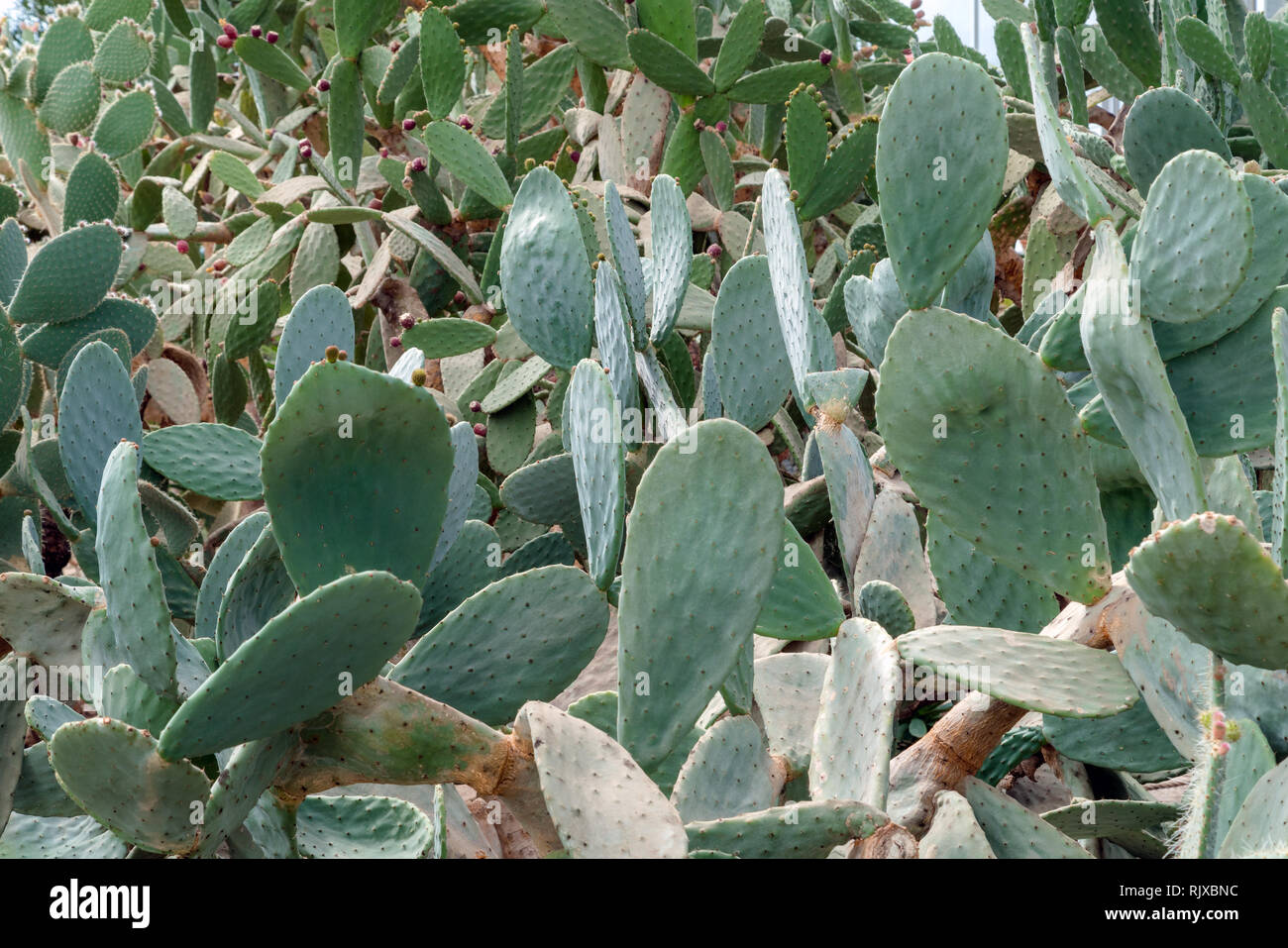 Épines de cactus jardin botanique en arrière-plan Photo Stock