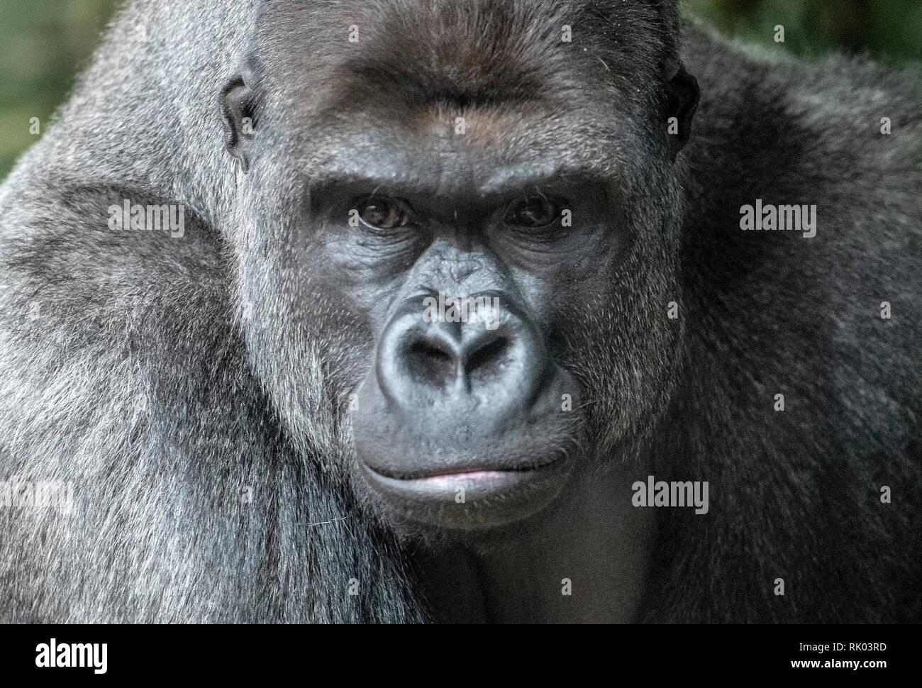 Gorille Des Plaines Occidentales Portrait (Gorilla Gorilla Gorilla) En  Captivité. National Zoo. Washington DC, Etats-Unis. Banque D'Images Et  Photos Libres De Droits. Image 12506544.