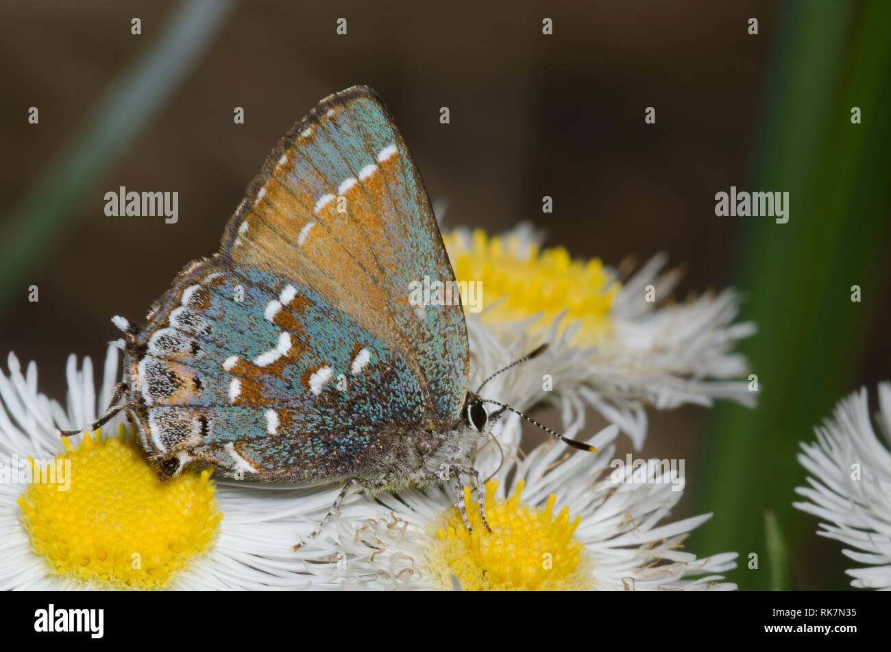 Hairstreak Callophrys gryneus, Juniper, de nectar, vergerette Erigeron sp. Banque D'Images