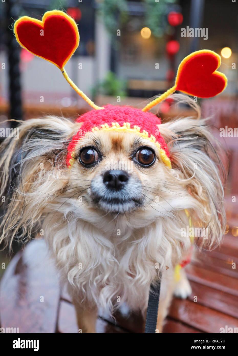 Londres, Royaume-Uni. 10 février 2019. Cookie le Chihuahua habillé avec tous les coeurs au sujet du chien chien Saint Valentin à pied, Hampstead Heath, London Crédit: Paul Brown/Alamy Live News Photo Stock