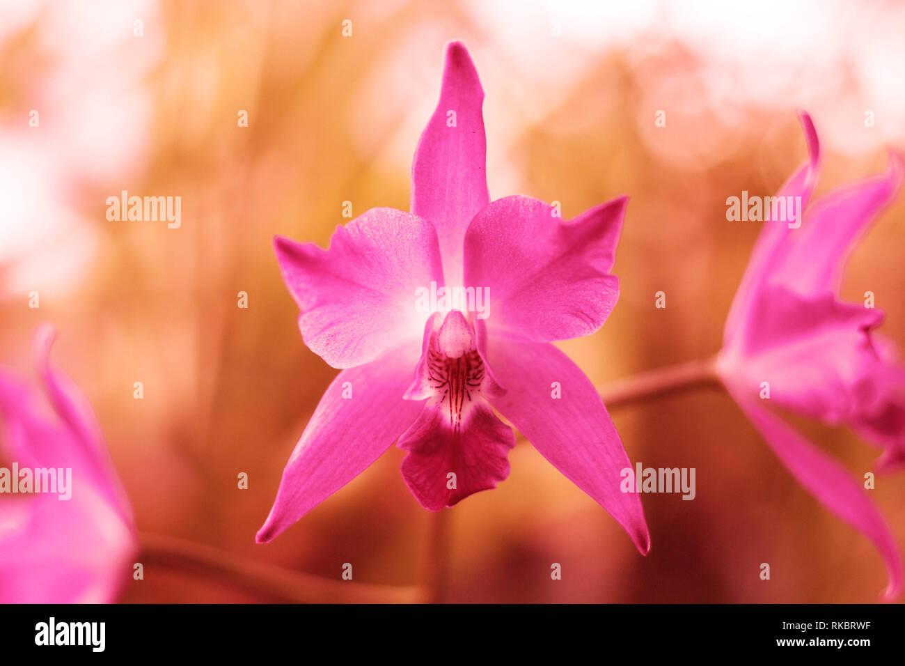 Orchidée fleur dans les tons de l'année hipster de coraux vivants. Image en couleur corail vivant à la mode Photo Stock