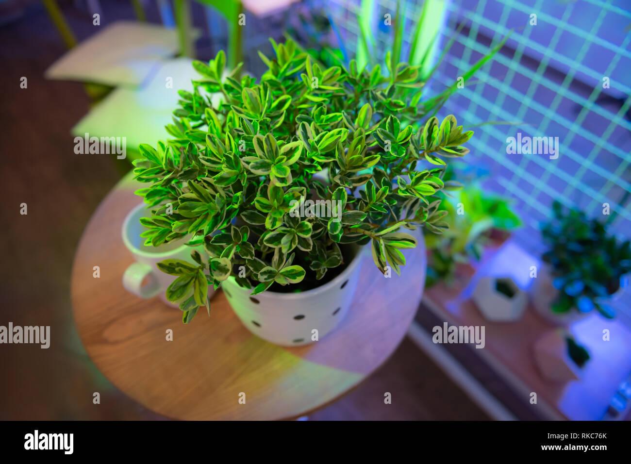 Bush luxuriant vert profond coloré debout sur une table basse en bois Photo Stock