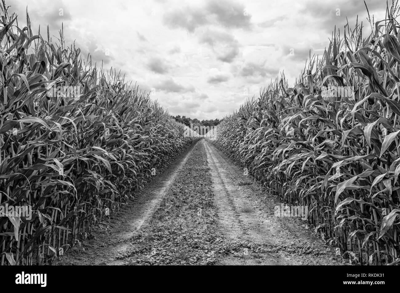 Domaine agricole sur lequel le maïs pousse verte, hdr Photo Stock
