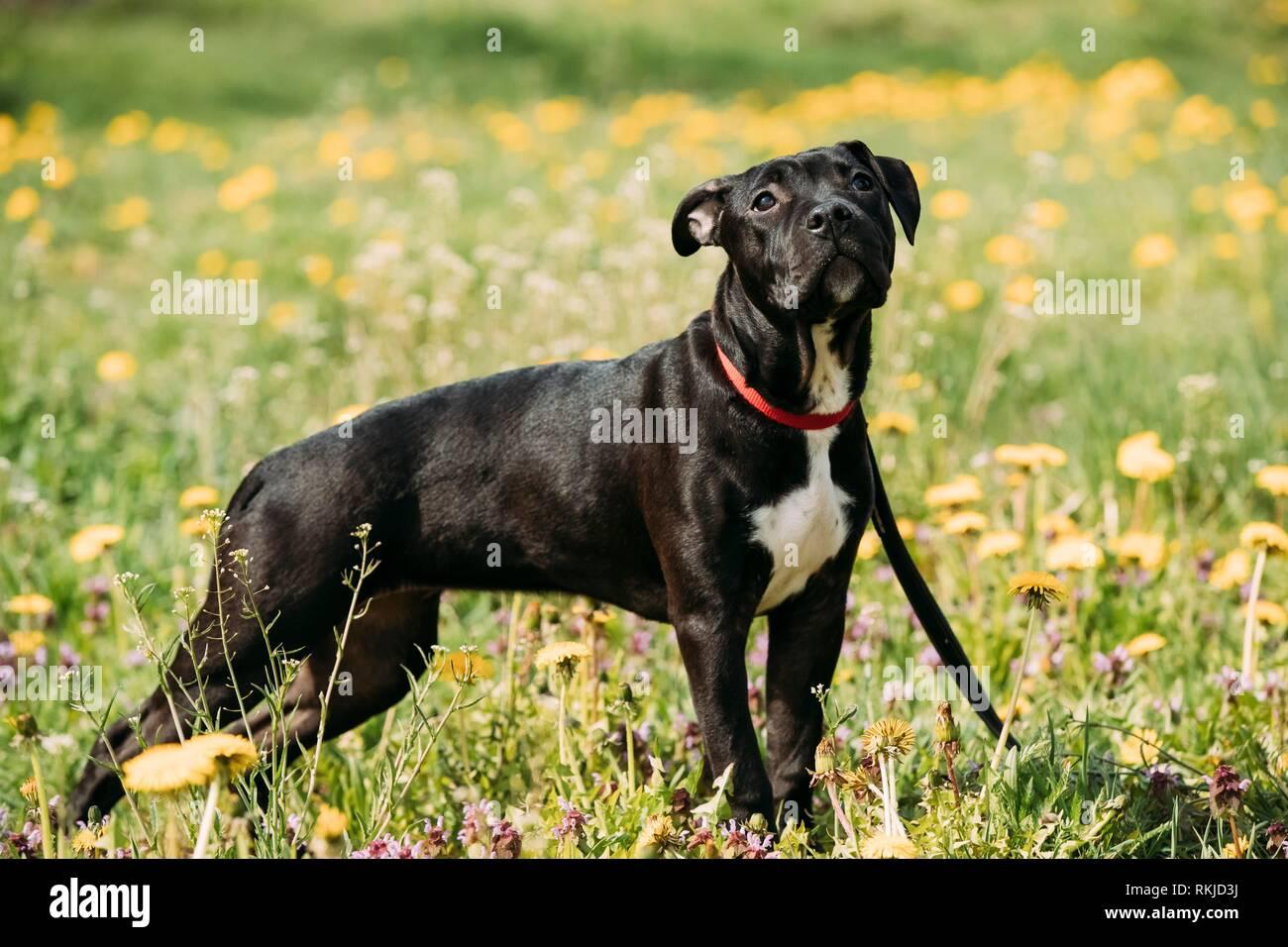 Jeune American Staffordshire Terrier Puppy Dog Standing piscine dans la région de Green Meadow printemps avec des fleurs jaunes. Animal ludique à l'extérieur. Banque D'Images