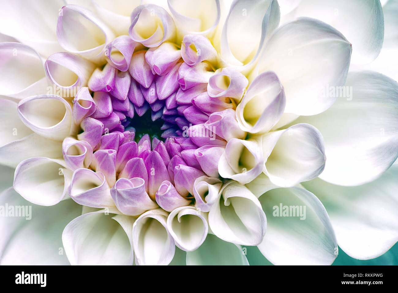 Dahlia blanc fleur. Abstract floral origines. Photo Stock