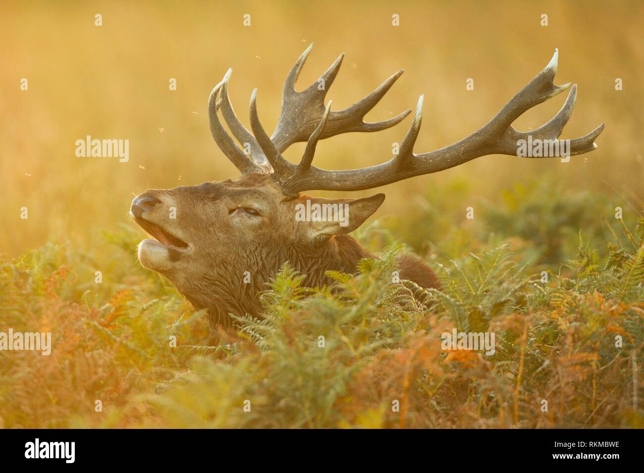 Red Deer stag , Richmond Park, Londres, Angleterre. Banque D'Images