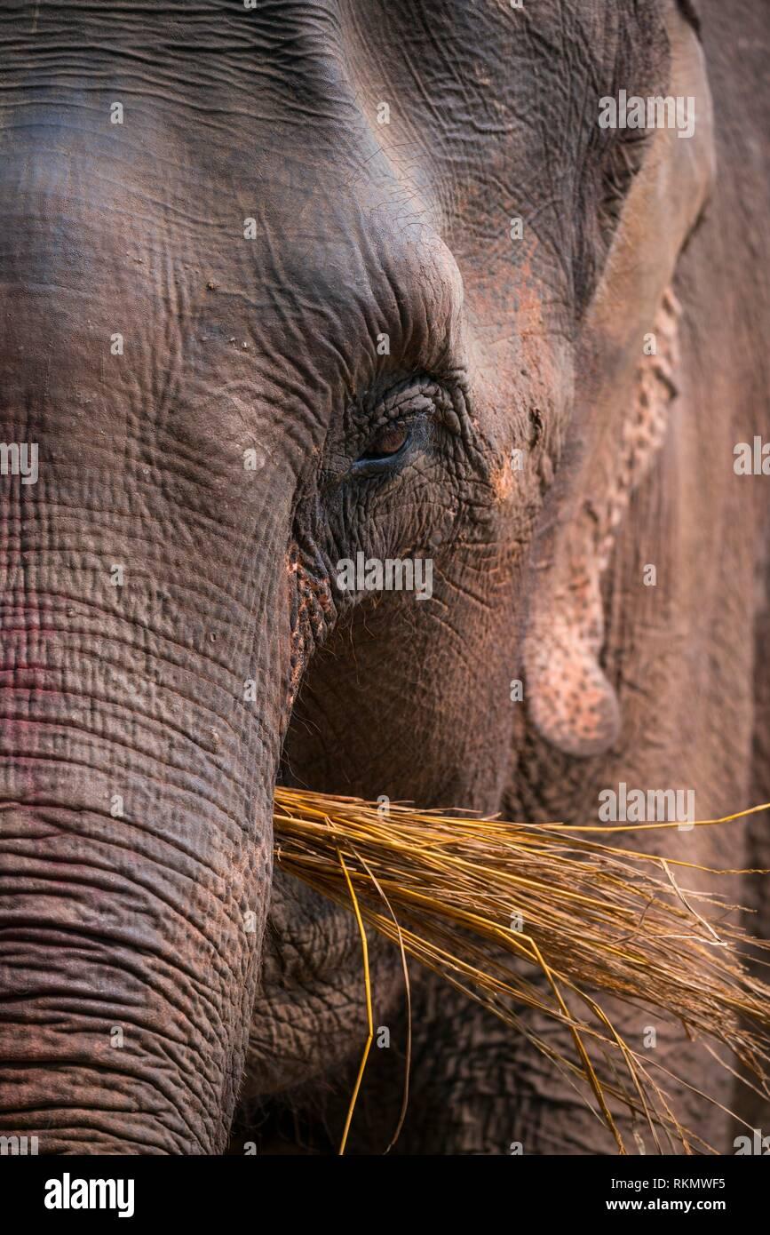 Éléphant d'Asie (Elephas maximus) Parc national de Chitwan, Népal, Asie, UNESCO World Heritage Site. Photo Stock