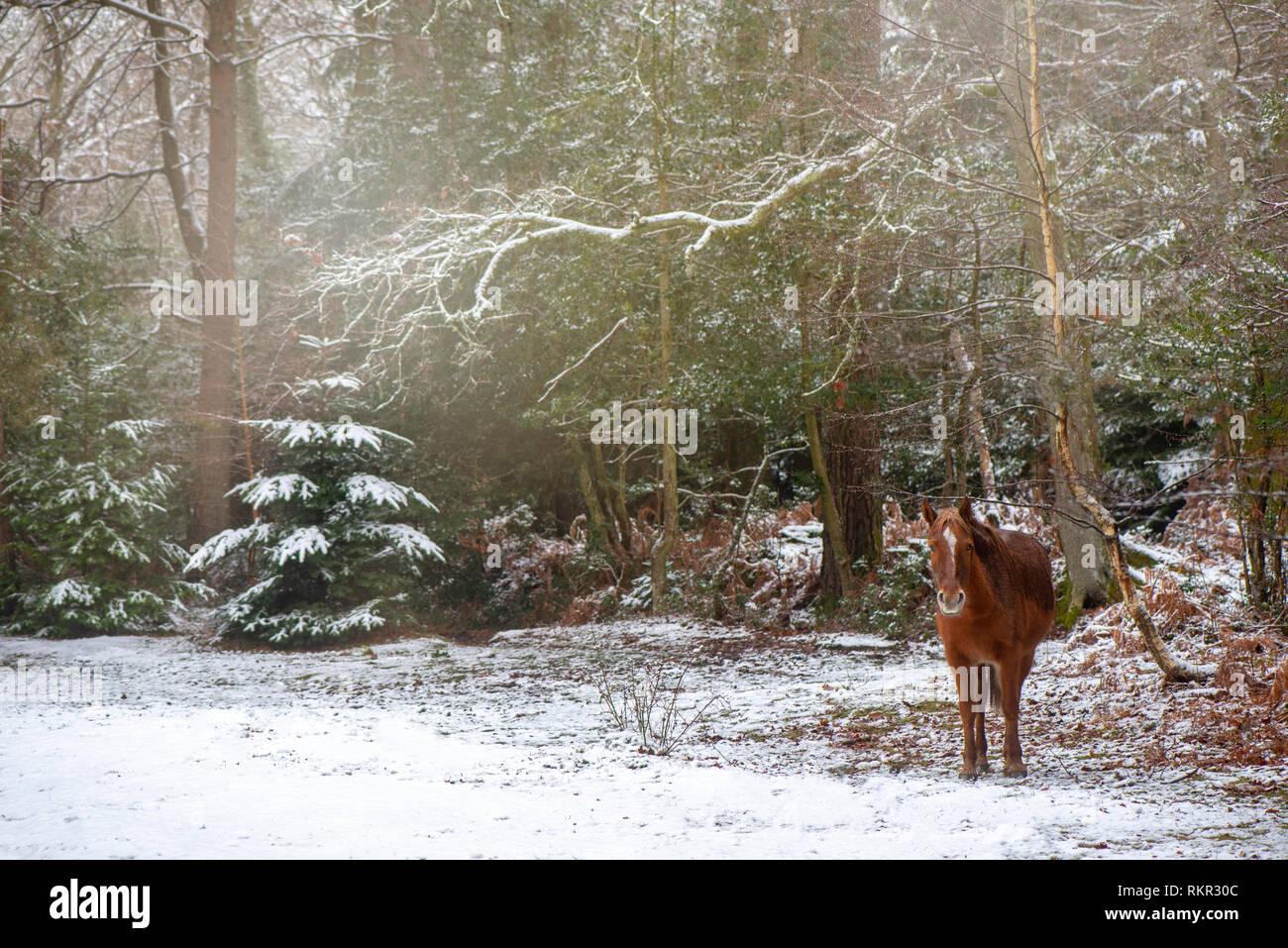 Close-up de droit de pâturage sur poneys New Forest et Holly Bracken dans la neige, dans les bois du parc national New Forest, Hampshire, England, UK Banque D'Images