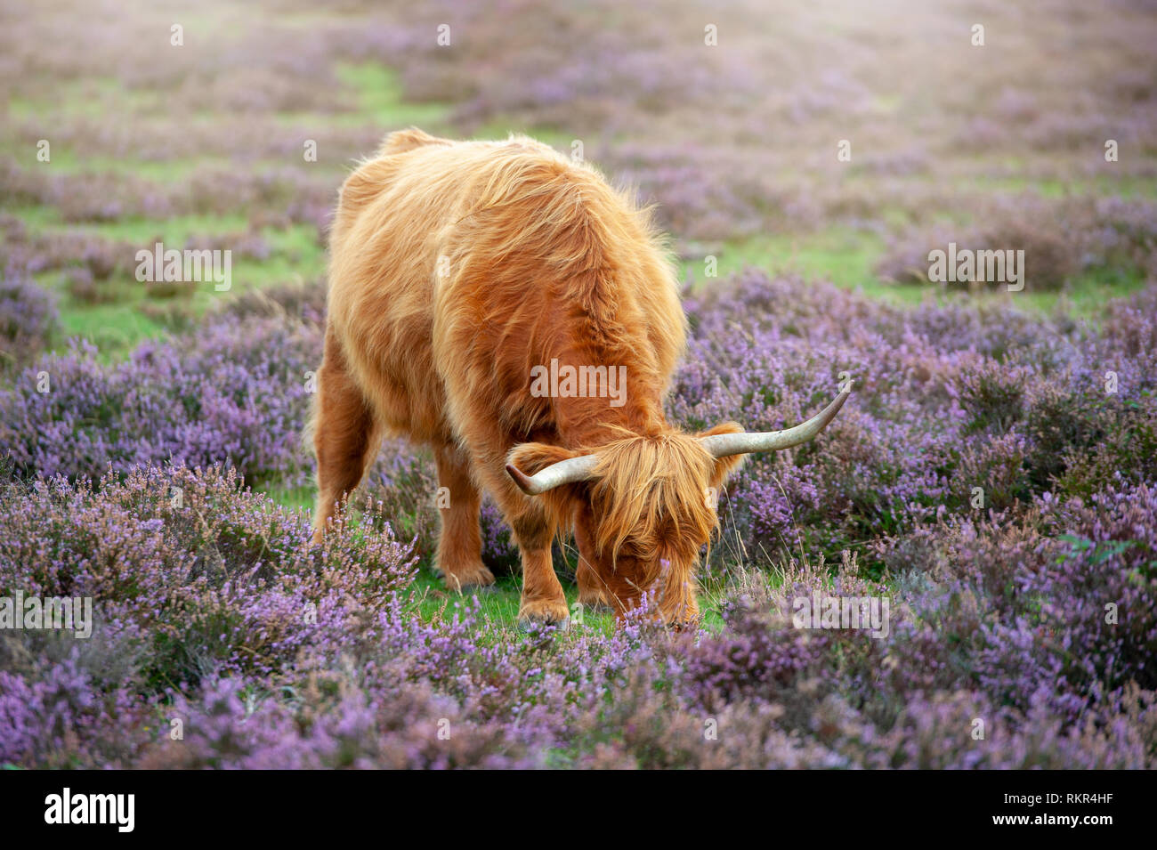 Image en gros plan d'un pâturage vache highland parmi l'été Heather dans le parc national New Forest, Hampshire, England, UK Banque D'Images