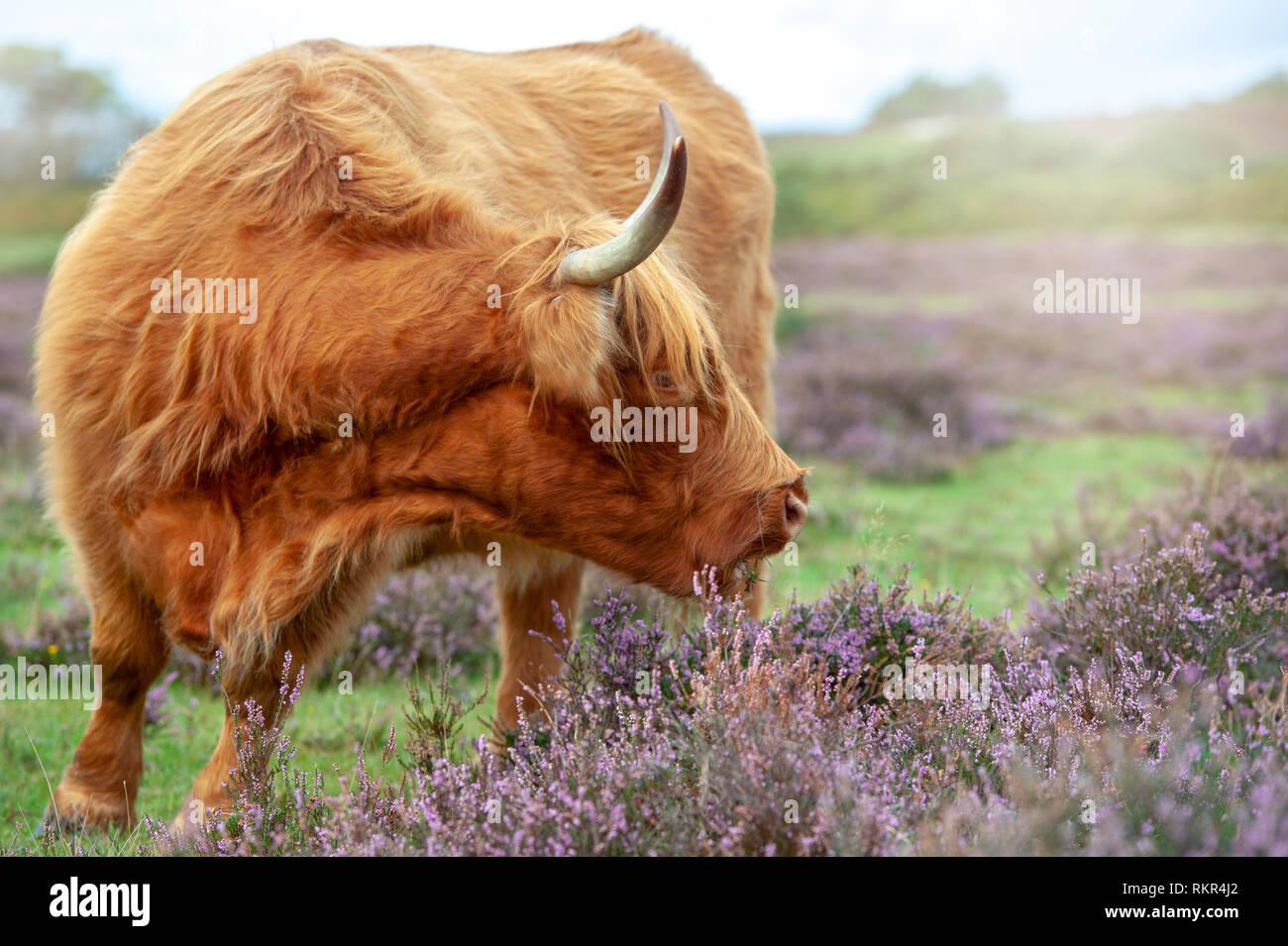 Image en gros plan d'un pâturage vache highland parmi l'été Heather dans le parc national New Forest, Hampshire, England, UK Banque D'Images