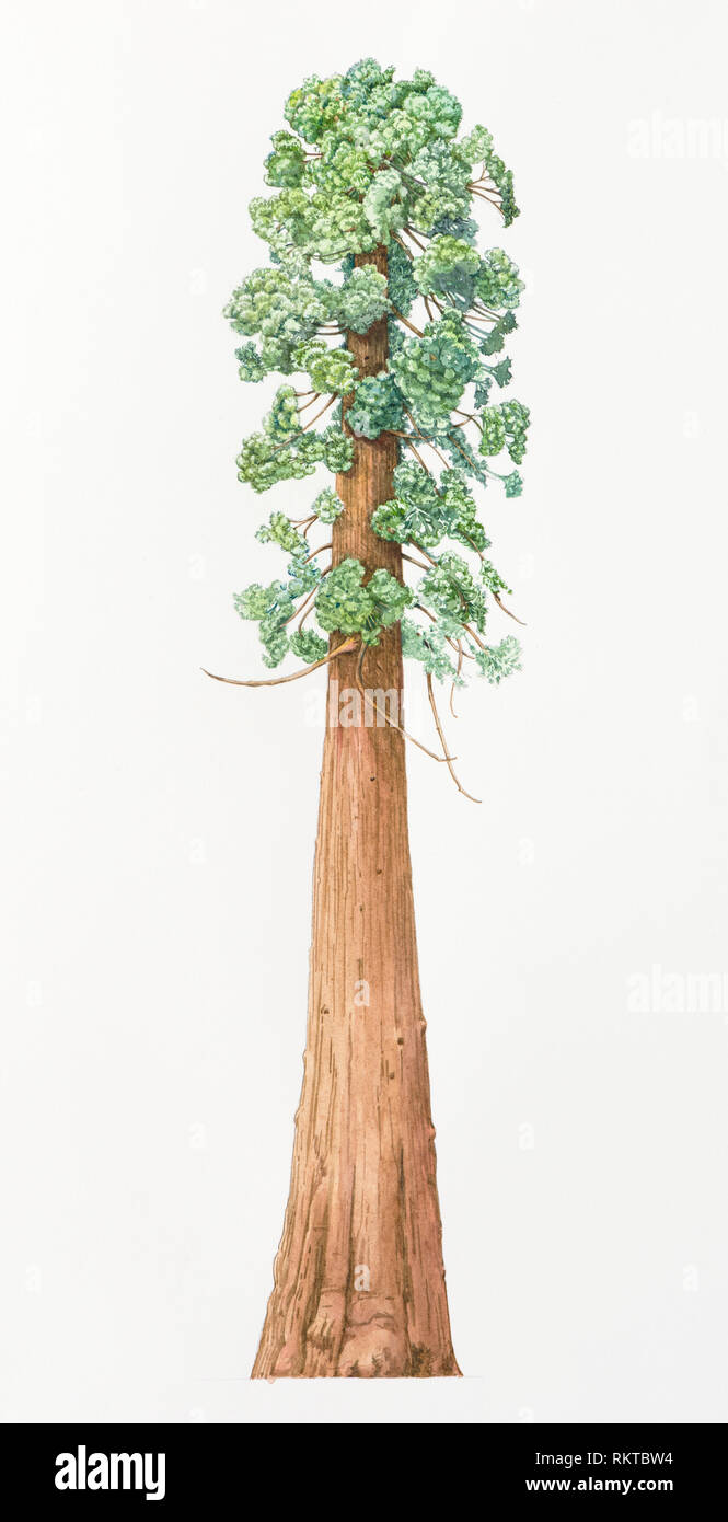Sequoia arbre sur fond blanc Photo Stock