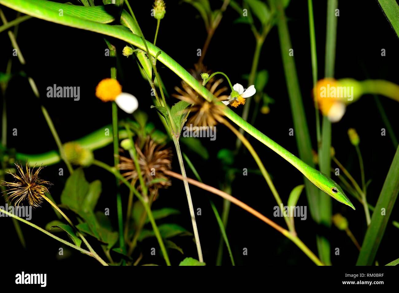Serpent de vigne verte (Ahaetulla nasuta) entre les plantes près de Sen Monorom, Mondulkiri, Cambodge Banque D'Images