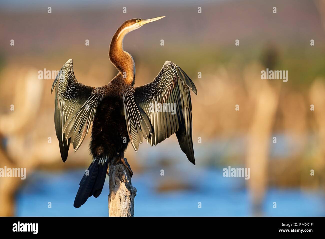 Le dard de l'Afrique de l'anhinga rufa () sécher ses ailes sur palétuvier. Le Lac Baringo. Le Kenya, l'Afrique. Photo Stock