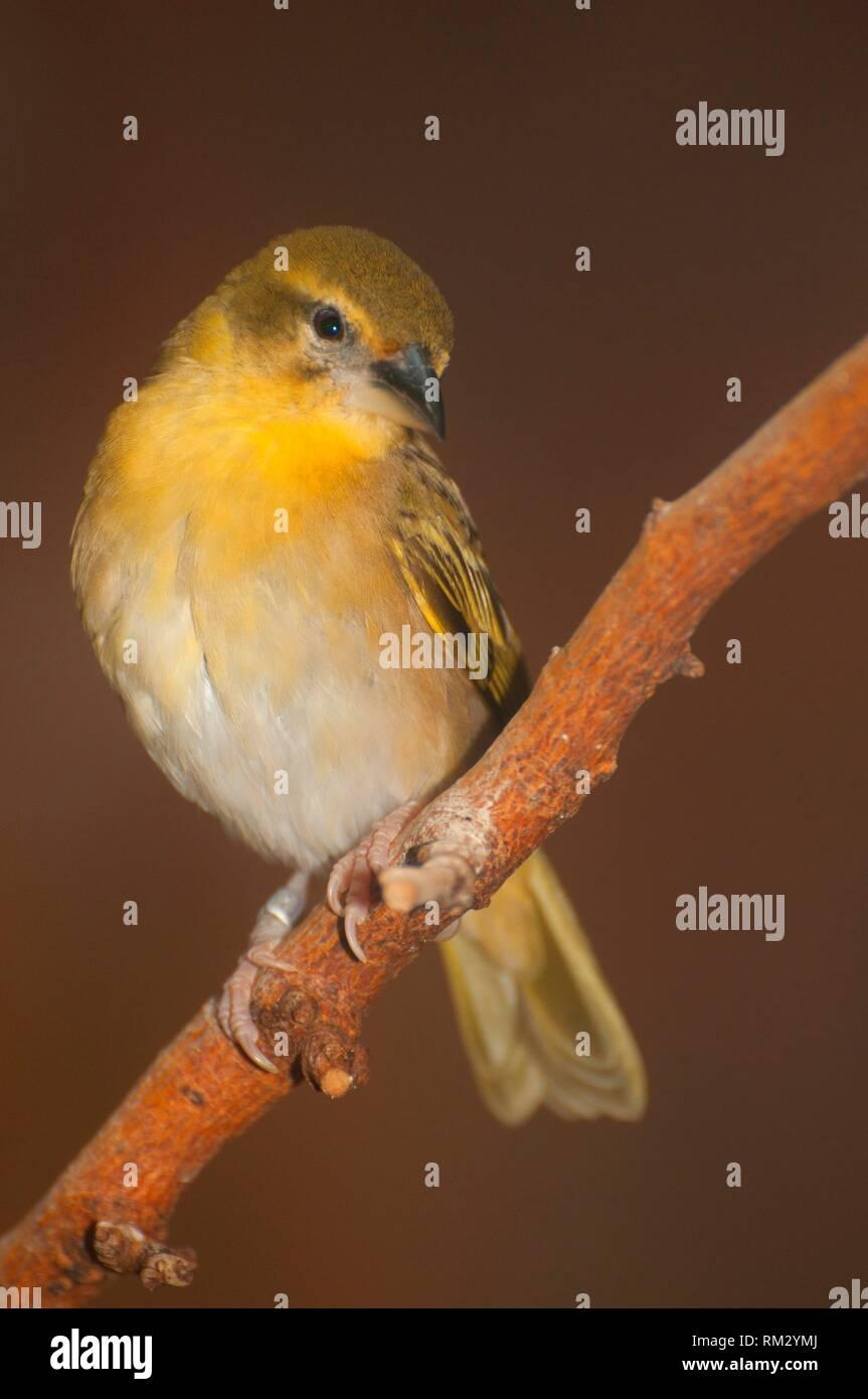 Salvadori weaver bird, Zoo de l'Oregon, Washington Park, Portland, Oregon. Photo Stock